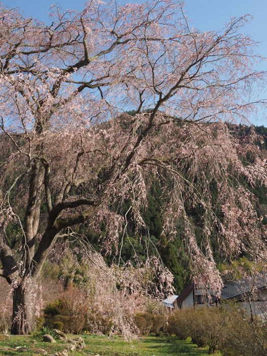 湯の山のしだれ桜_c0116915_23263922.jpg