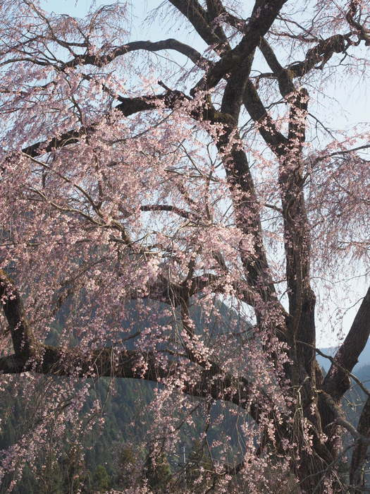 湯の山のしだれ桜_c0116915_23264842.jpg