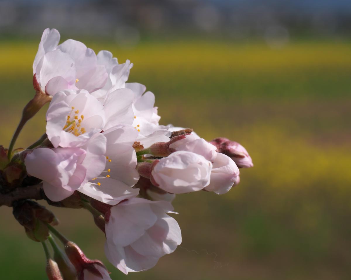 藤原宮跡にも春!_b0408917_01204889.jpg