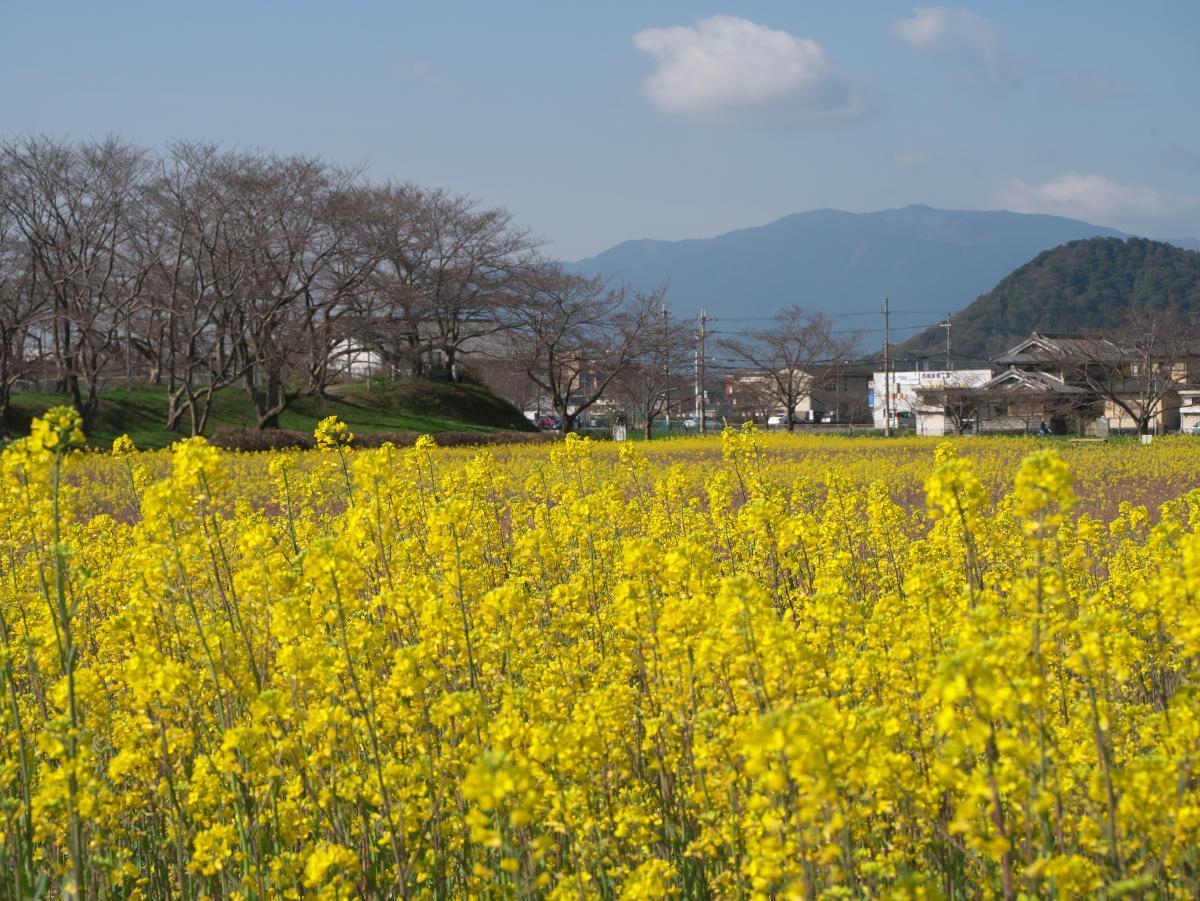 藤原宮跡の菜の花畑_b0408917_18325983.jpg