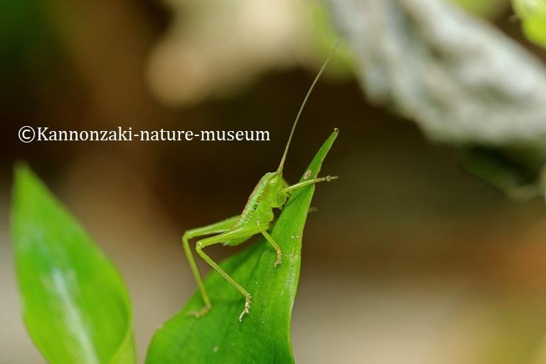 ヤブキリの幼虫を見る(2020年3月)_a0386621_13464453.jpg