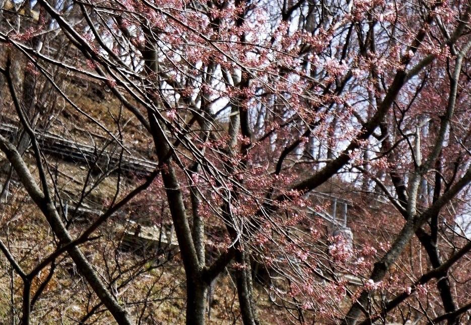 2020年3月24日(火) 臨時(桜開花状況調査)_d0024426_21574040.jpg