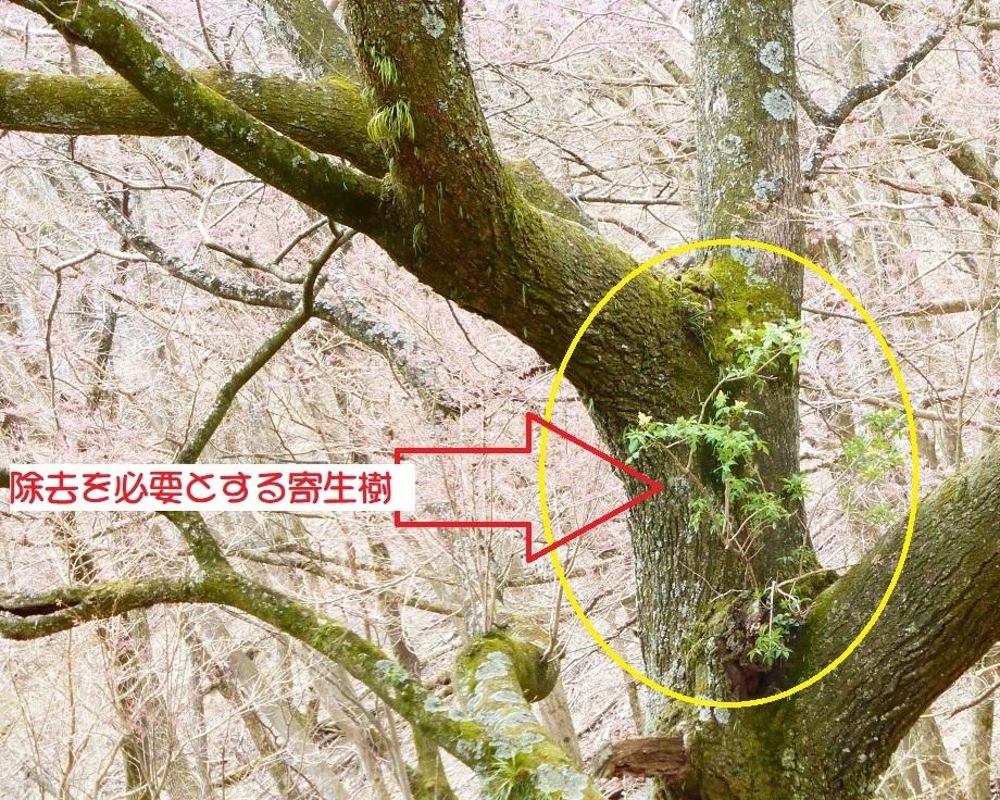 2020年3月24日(火) 臨時(桜開花状況調査)_d0024426_21574792.jpg