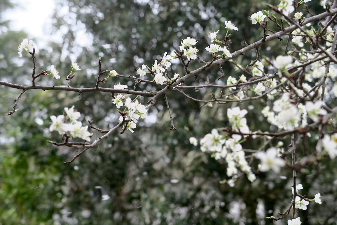 梨すもも花に雪降る春のペルージャ_f0234936_9284771.jpg