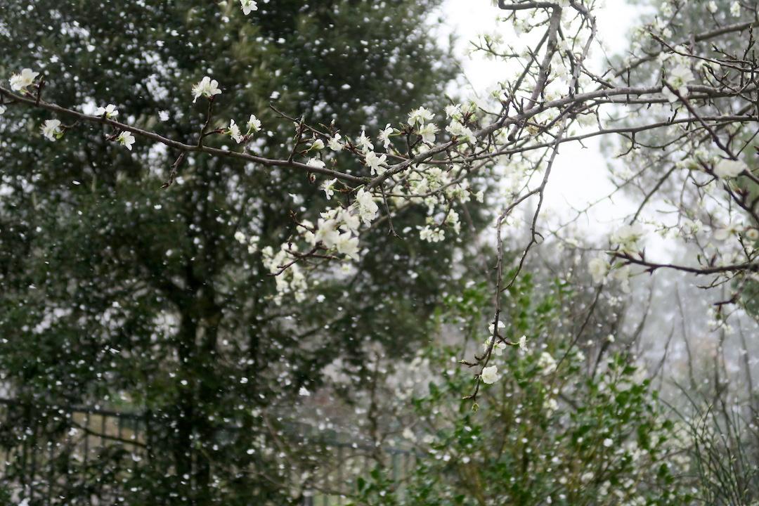 梨すもも花に雪降る春のペルージャ_f0234936_932268.jpg