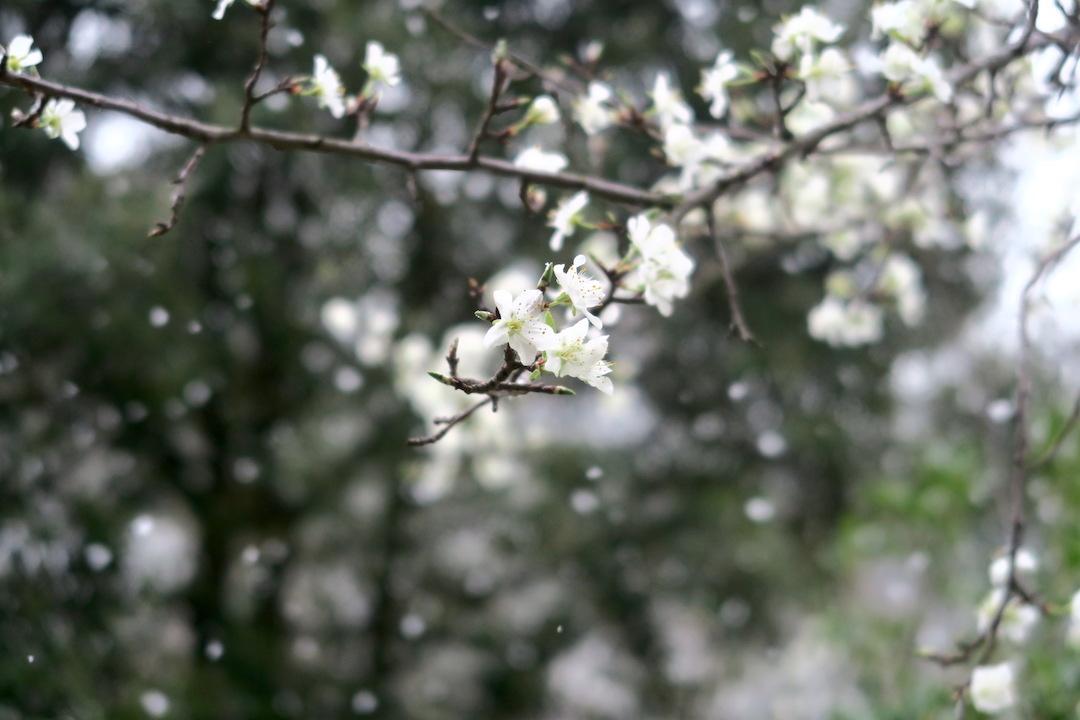 梨すもも花に雪降る春のペルージャ_f0234936_9331553.jpg