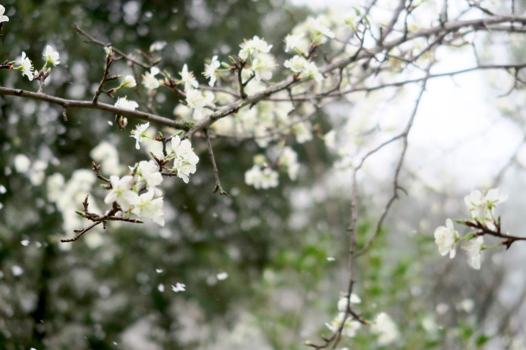 梨すもも花に雪降る春のペルージャ_f0234936_9343585.jpg