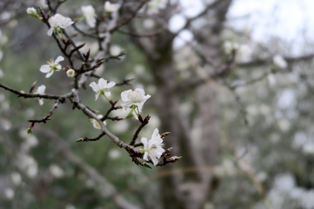 梨すもも花に雪降る春のペルージャ_f0234936_93864.jpg