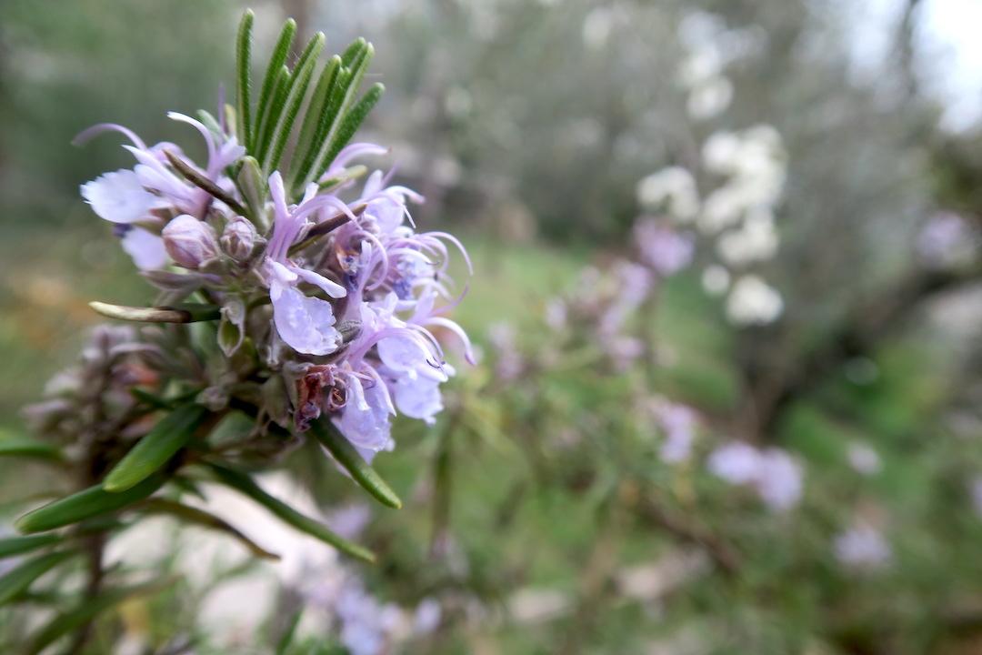 梨すもも花に雪降る春のペルージャ_f0234936_939312.jpg