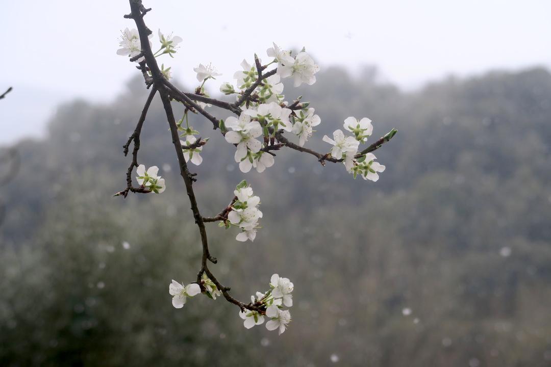 梨すもも花に雪降る春のペルージャ_f0234936_946592.jpg