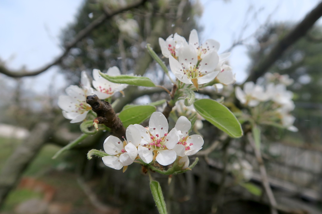 梨すもも花に雪降る春のペルージャ_f0234936_9512382.jpg