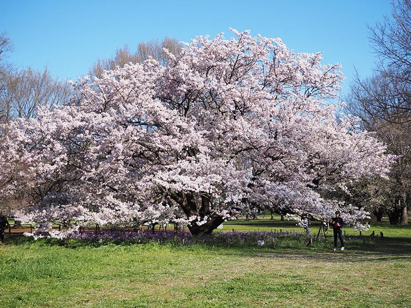 小金井の桜(ちょっと)_a0003650_22344556.jpg
