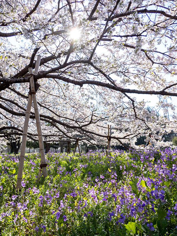 小金井の桜(ちょっと)_a0003650_22352461.jpg