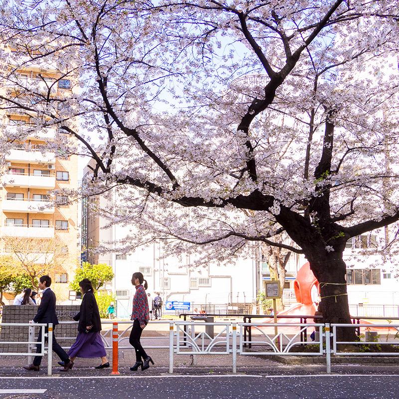 小金井の桜(ちょっと)_a0003650_22383786.jpg