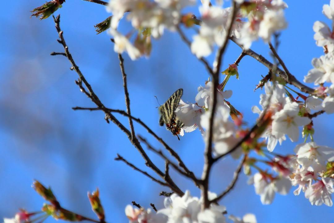 桜にギフチョウ_e0403850_23550870.jpg
