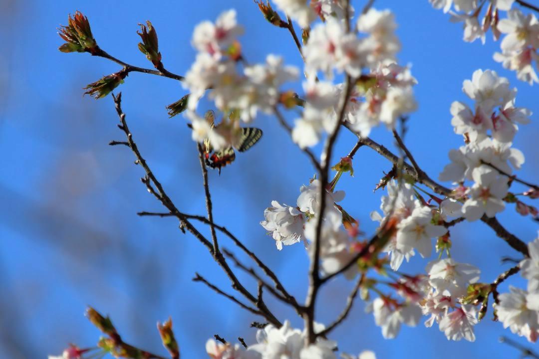 桜にギフチョウ_e0403850_23551229.jpg