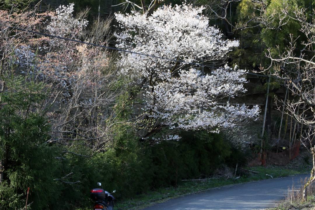 桜にギフチョウ_e0403850_23562455.jpg