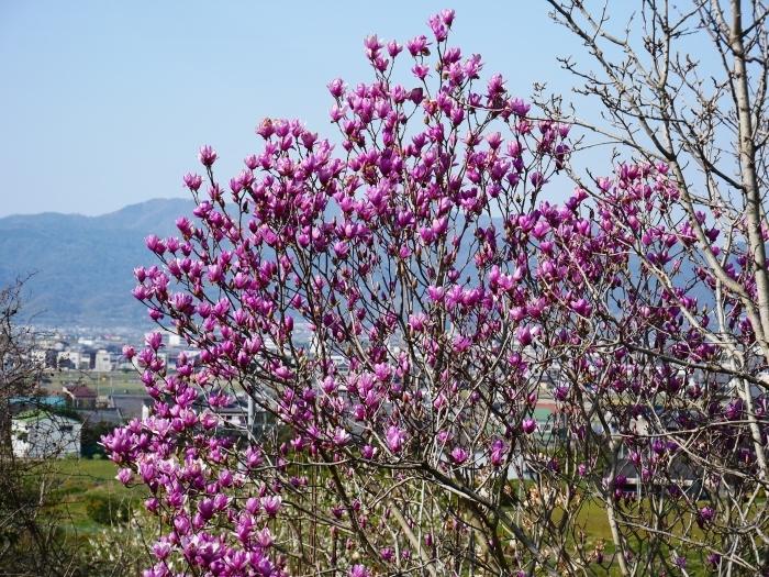 モクレンなど咲く丘へ上る  2020-03-28 00:00   _b0093754_23072561.jpg