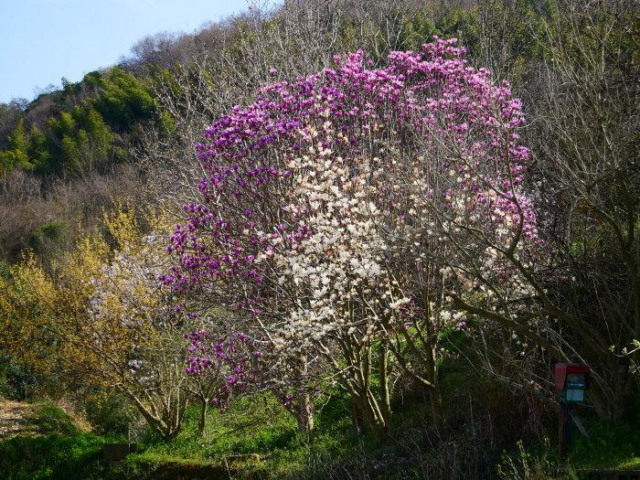 モクレンなど咲く丘へ上る  2020-03-28 00:00   _b0093754_23073890.jpg