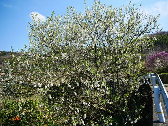 モクレンなど咲く丘へ上る  2020-03-28 00:00   _b0093754_23075343.jpg