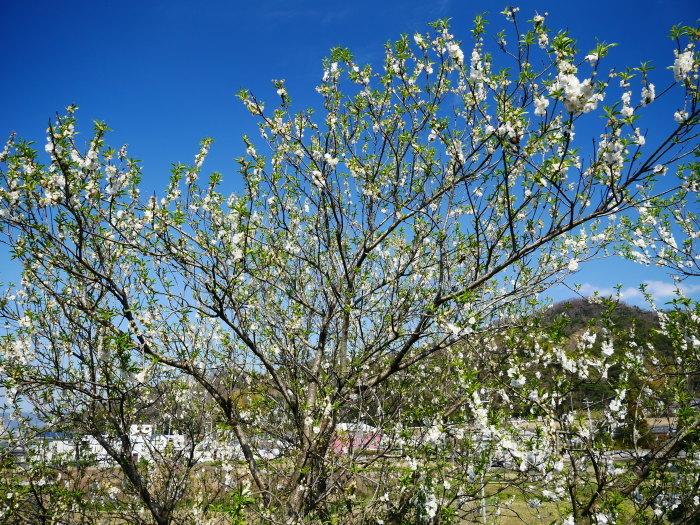 モクレンなど咲く丘へ上る  2020-03-28 00:00   _b0093754_23080445.jpg