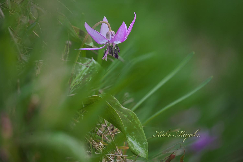 カタクリ(Katakuri (Dogtooth violet) )と椿( camellia )_d0013455_12200760.jpg