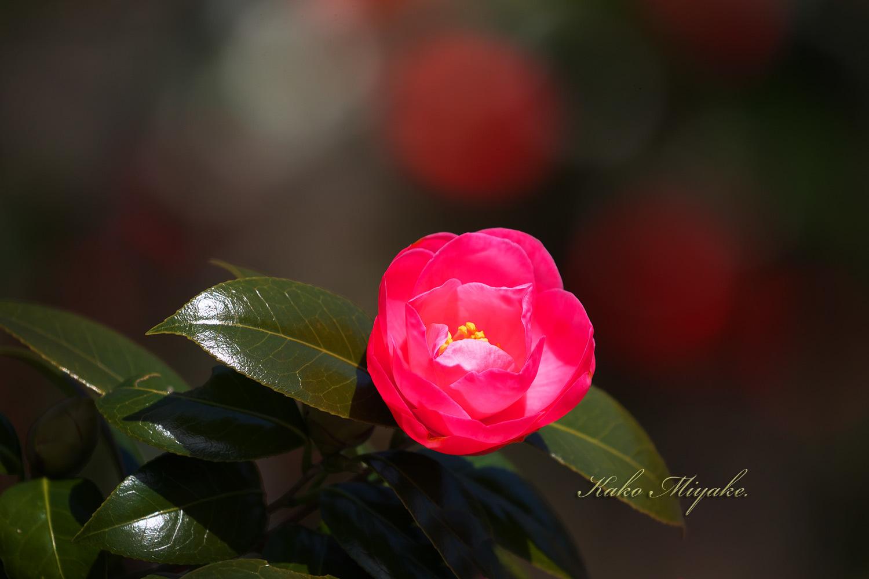 カタクリ(Katakuri (Dogtooth violet) )と椿( camellia )_d0013455_12201255.jpg