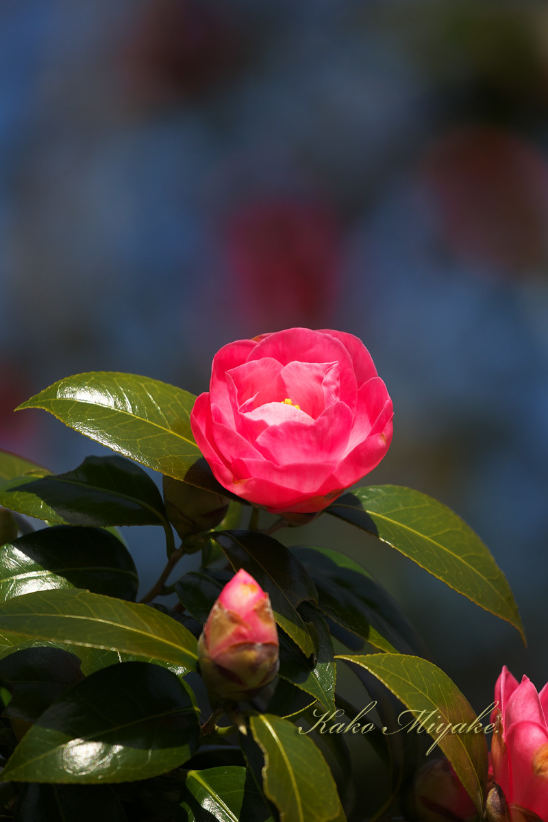 カタクリ(Katakuri (Dogtooth violet) )と椿( camellia )_d0013455_12201656.jpg
