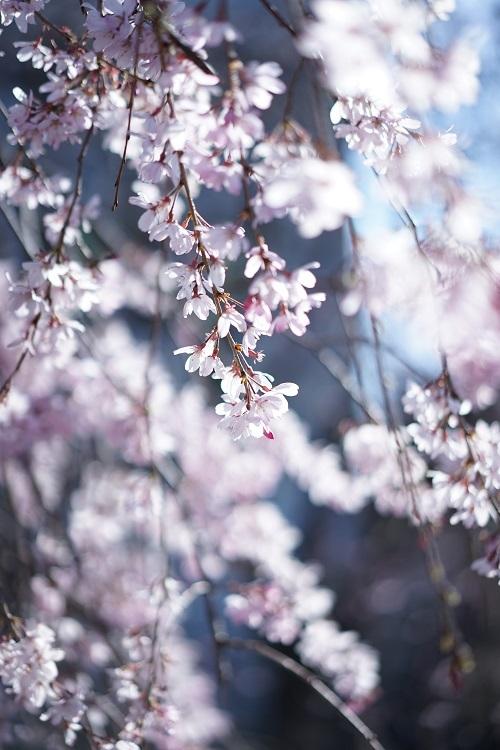 枝垂れ桜をさがして_a0292060_22514796.jpg