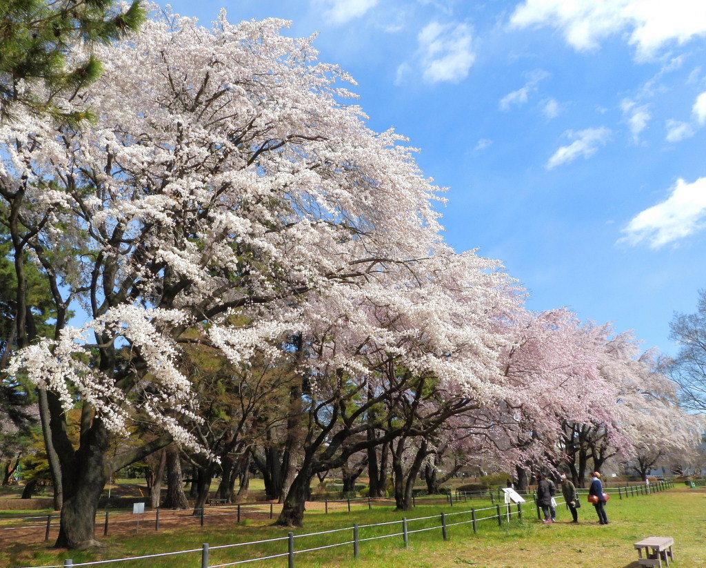 もう見頃だった 🌸 祇園シダレザクラ 🌸_c0305565_17333673.jpg