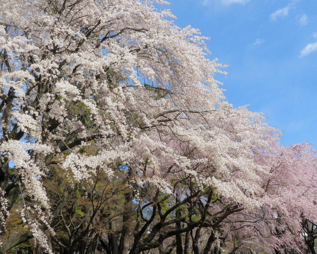 もう見頃だった 🌸 祇園シダレザクラ 🌸_c0305565_17335243.jpg