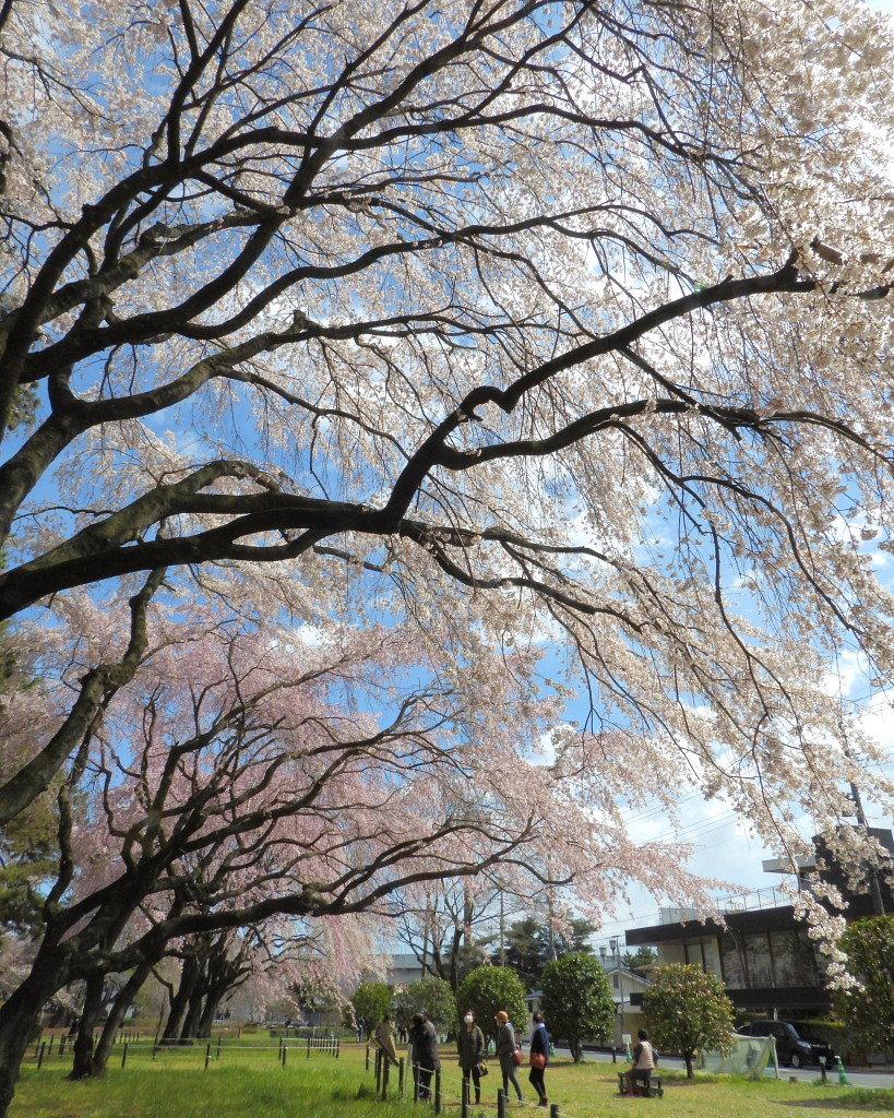 もう見頃だった 🌸 祇園シダレザクラ 🌸_c0305565_17340534.jpg
