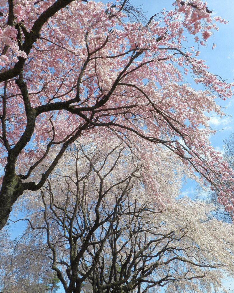 もう見頃だった 🌸 祇園シダレザクラ 🌸_c0305565_17342422.jpg