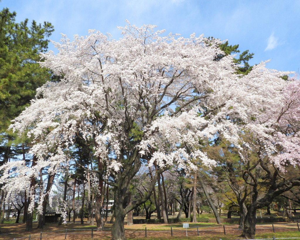 もう見頃だった 🌸 祇園シダレザクラ 🌸_c0305565_17344606.jpg