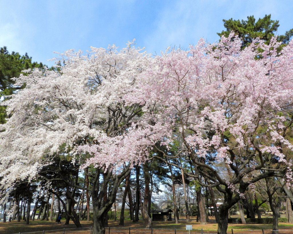 もう見頃だった 🌸 祇園シダレザクラ 🌸_c0305565_17350711.jpg