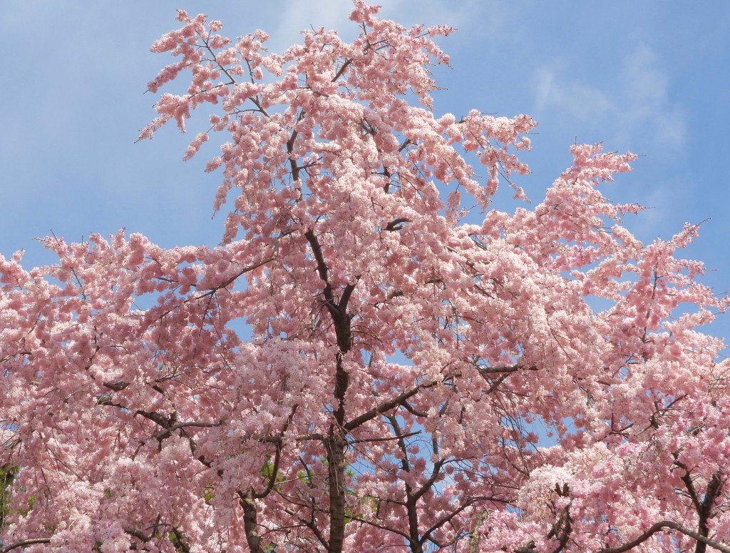 もう見頃だった 🌸 祇園シダレザクラ 🌸_c0305565_17351979.jpg