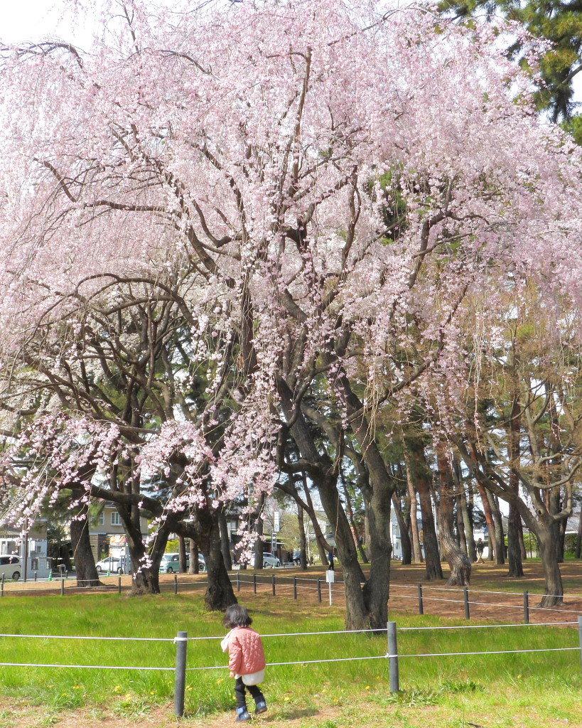 もう見頃だった 🌸 祇園シダレザクラ 🌸_c0305565_17353515.jpg