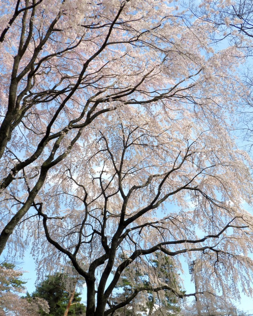 もう見頃だった 🌸 祇園シダレザクラ 🌸_c0305565_17355350.jpg
