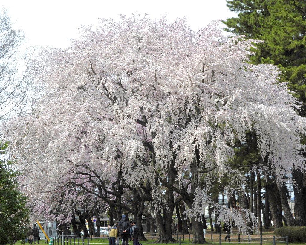 もう見頃だった 🌸 祇園シダレザクラ 🌸_c0305565_17363493.jpg