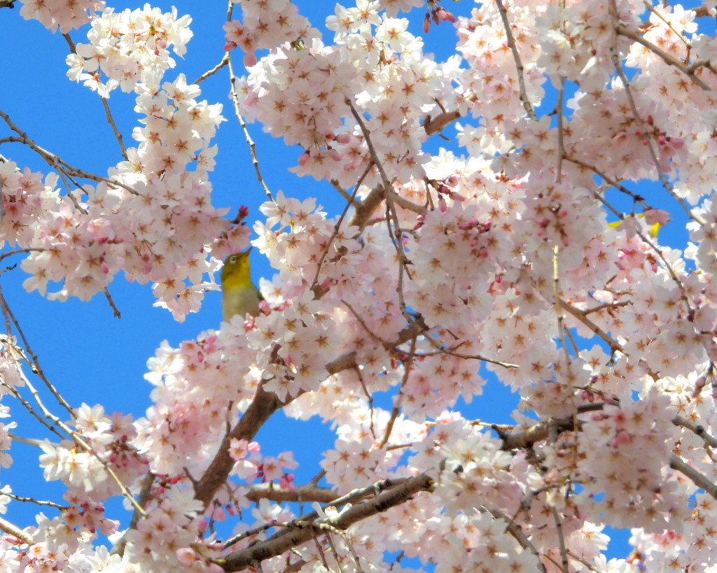 もう見頃だった 🌸 祇園シダレザクラ 🌸_c0305565_17365716.jpg