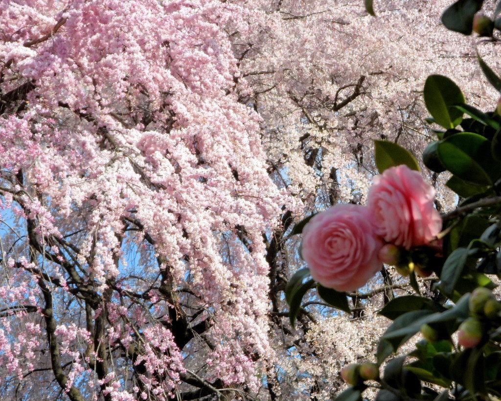 もう見頃だった 🌸 祇園シダレザクラ 🌸_c0305565_17374624.jpg