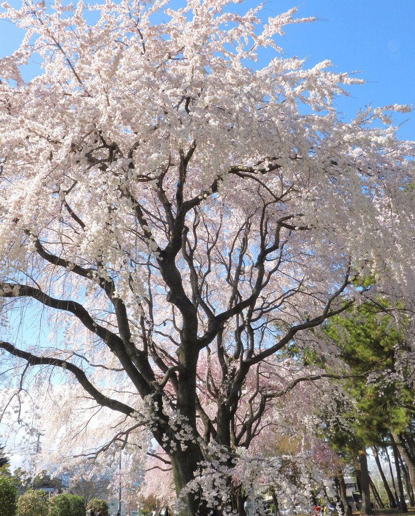 もう見頃だった 🌸 祇園シダレザクラ 🌸_c0305565_17384451.jpg