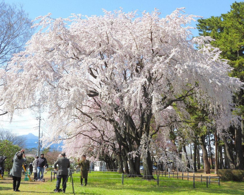 もう見頃だった 🌸 祇園シダレザクラ 🌸_c0305565_17390149.jpg