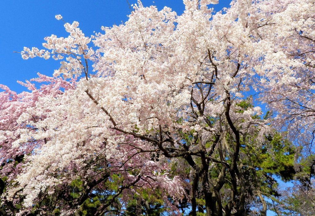 もう見頃だった 🌸 祇園シダレザクラ 🌸_c0305565_17391981.jpg