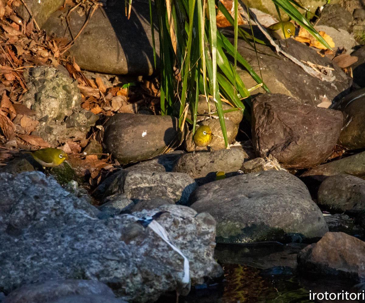 水浴び  (メジロ)  2020/03/23_d0146592_00581460.jpg