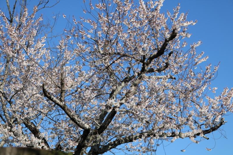 スマッシュケーキと桜_f0376195_17445046.jpg