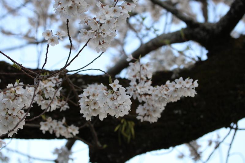 スマッシュケーキと桜_f0376195_17462962.jpg