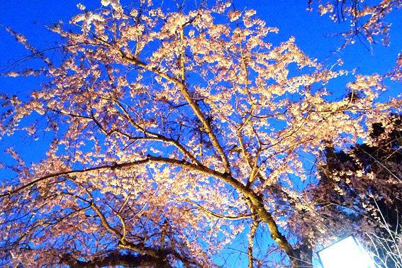 イトザクラの夜桜見物_b0145296_08091923.jpg