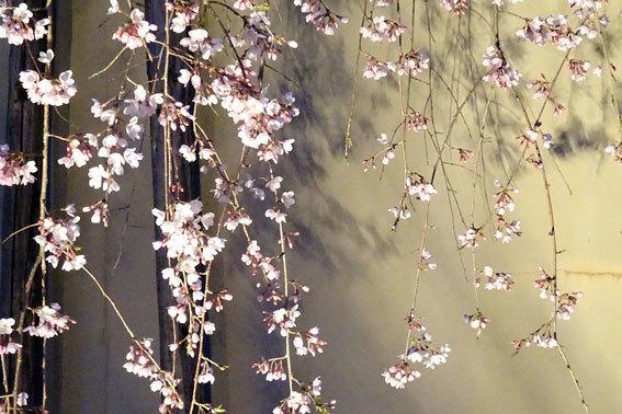 イトザクラの夜桜見物_b0145296_08171706.jpg