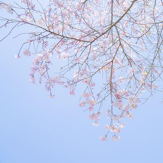 藁ぶき屋根としだれ桜_b0145398_23323993.jpg